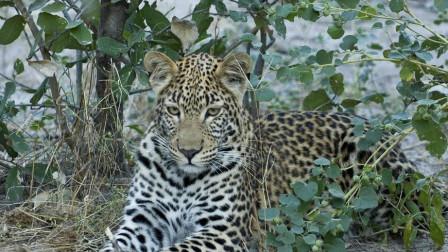 豹子爬上树也逃不过狮群的死亡追击,犀牛单枪匹马狠斗8只狮子