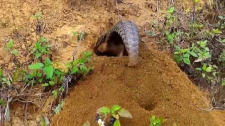 穿山甲的挖洞速度让你不敢相信,简直就是一台凿洞穿山机,太快了!
