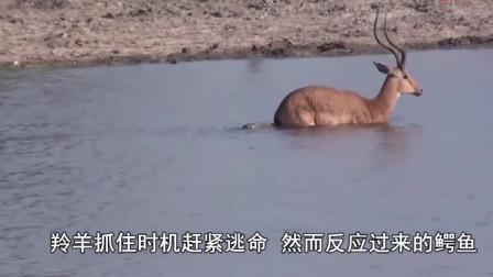 一只山羊站在水里头不让狼抓,谁想到狼直接下水,下一秒忍住千万别笑哈