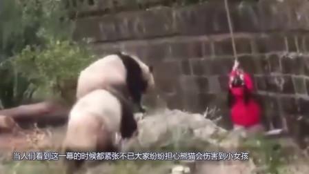 可爱的小女孩掉进熊猫园子里,被三只大熊猫围住,下一秒千万忍住别笑