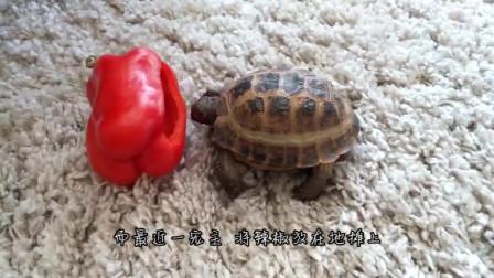 世界上最辣的辣椒死神椒,被乌龟吃下去以后,接下来可谓是龟生巅峰,憋住别笑