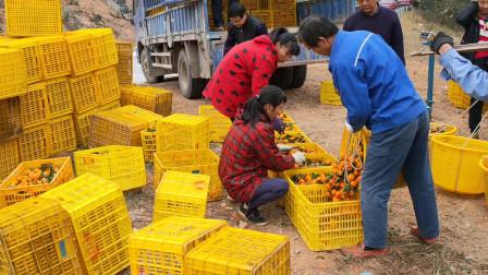 这么靓的砂糖橘才卖1.6元1斤,我看谁以后还敢种砂糖橘?