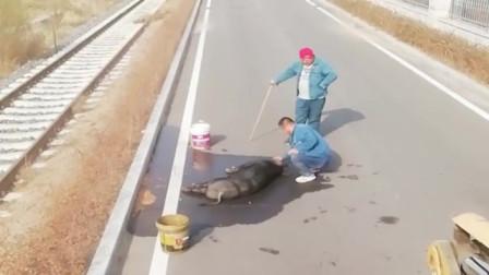 说你们可能不信,修路的时候意外捡了一头累死的野猪,救不活了!