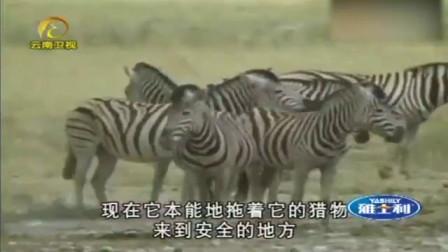 狮子经验不足,连着三个星期都没抓到猎物,自己还被斑马给踢伤了