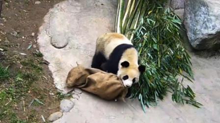 熊猫偷了一麻袋东西,赶紧暗戳戳地拖回家,镜头记录搞笑全过程
