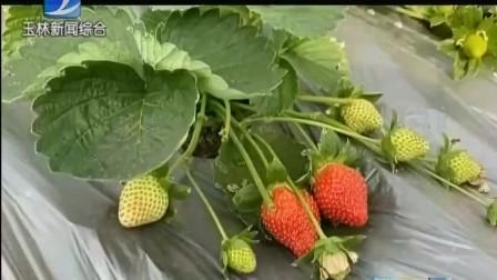 """广西玉林五彩田园景区草莓采摘,享受""""莓""""好时光"""