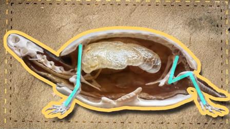 乌龟壳里有什么?生物学家为你揭秘,乌龟一直在用屁屁呼吸?