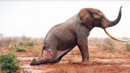 大象倒地不起,已经放弃逃生,没想到最后却出现了转机