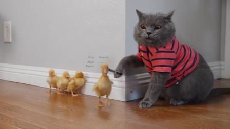 母爱泛滥的猫咪,将4只流浪鸭带回家里,天下当妈的都这么伟大