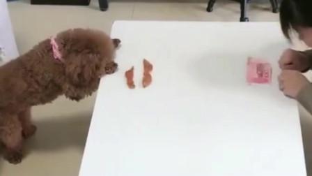 模仿秀:泰迪真聪明,女主人做什么它就做什么,成精了!