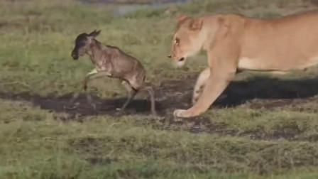 狮子将自己到手的小羚羊当玩具
