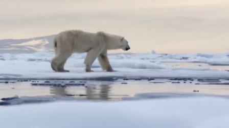 北极熊对无人机好奇,把冰面直接顶出来个窟窿,下一幕要笑岔气了