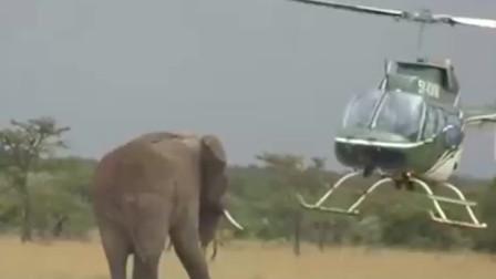 当大象第一次见直升机,竟直直地朝飞机走过去,镜头记录下搞笑画面