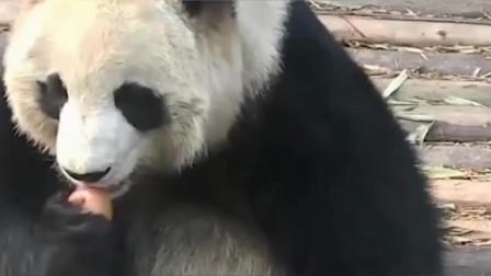 当熊猫捡起地上的苹果,第一反应不是吃,看完憋住笑