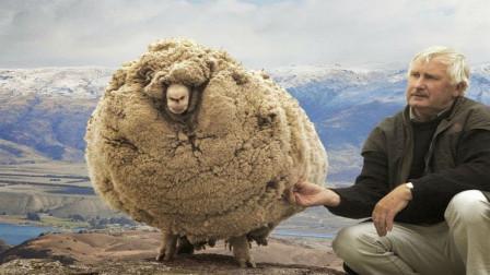 """外国剃羊毛比赛,羊还没反应,""""羊毛""""就没了,羊:刚刚发生了啥"""
