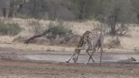 6米高的长颈鹿喝水艰难摔倒后差点起不来