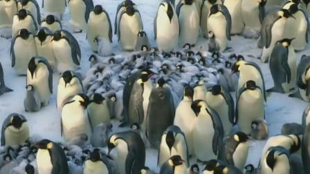 帝企鹅将企鹅宝宝围在中间抱团取暖