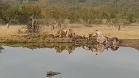 鬣狗群骚扰狮子吃午餐