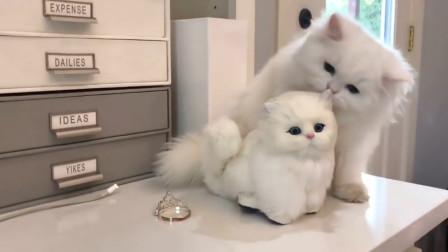 可爱的波斯猫被玩具猫骗了,一脸认真的打招呼,镜头记录全过程