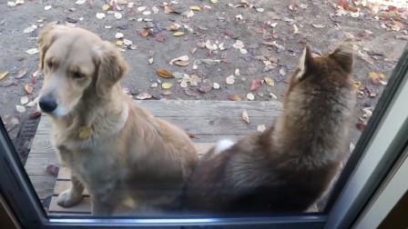 金毛和哈士奇犯错误,同时被主人扫地出门,不料两狗的差别太大了