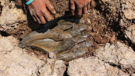 干裂的藕塘,小哥挖开泥块,里面暗藏着好多鱼,太惊喜了!