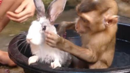 猴子给小兔子洗澡,不料小兔子无声抗议,网友:下手太重了