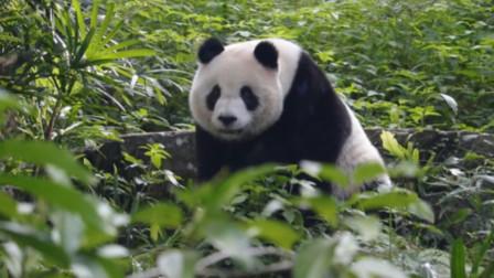 熊猫版大王叫我来巡山,角角落落都不放过,佩服了,大佬