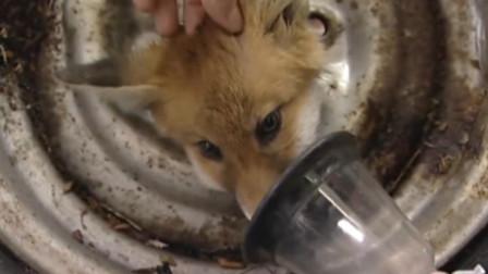 小狐狸被困轮胎奄奄一息,被男子勇救后,意想不到的事情却发生了