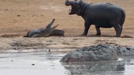 河马和鳄鱼的对峙!