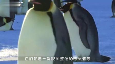 为啥企鹅没有脖子?原来从出生就注定了,看完笑喷!