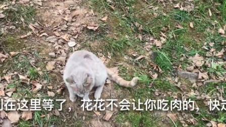 狗狗帮主人看护肉,猫咪嘴馋想偷吃,哪知狗子太尽责根本没机会下手