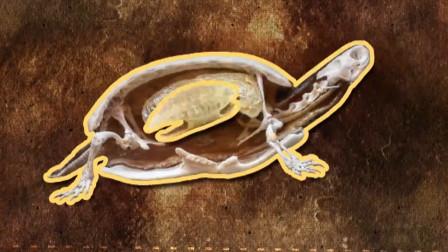 乌龟脱离了龟壳,还能存活吗?科学家亲自试验得出答案!