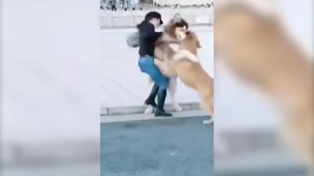 不牵绳引发的悲剧!两巨型犬在马路上撕咬:女主人都被扑倒了