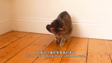 猫咪气势汹汹的抓老鼠没想到老鼠转身就是回首掏被反杀了