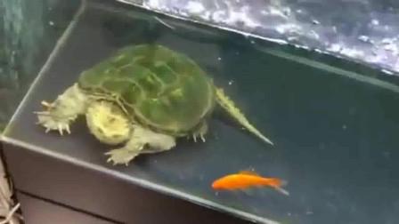 主人帮鳄龟瞄准了都咬不到真的不是辅助不给力是这输出扶不起来