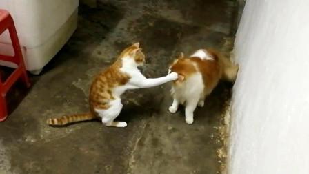 【捡猫】记录第二百四十七天,咪欺铛!吨护铛!险挨揍!