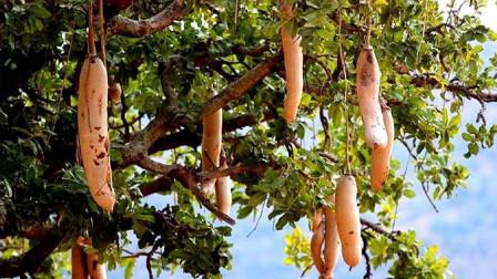"""非洲不种地吃什么?看到非洲""""香肠树"""",网友:换我我也不想种地"""