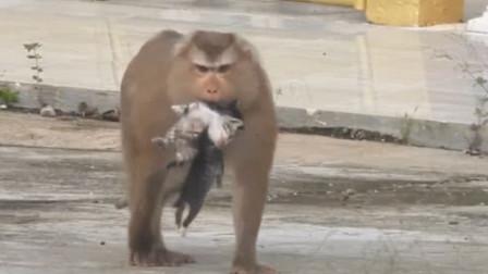 """猴子""""绑架""""了猫咪,原因到底是什么?镜头记录全过程"""