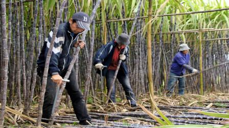 为什么一些蔗农用人工砍甘蔗,而不是收割机呢?今天算长见识了