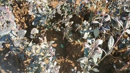 农村大叔赶集卖蓝莓盆栽,一集能卖近上万元?听了好羡慕