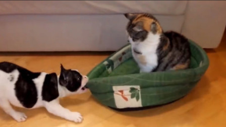 猫咪霸占了狗狗的小窝,狗狗想把自己的窝抢回来,镜头拍下搞笑过程