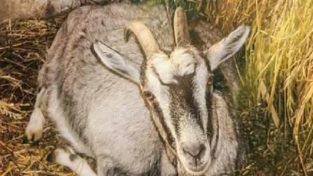 """小伙家里没公羊,母羊却""""怀孕""""了,兽医一句话主人不淡定了"""