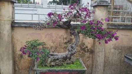 院子里好多盆景,被这盆三角梅吸引了,花开好美,难得的精品树桩