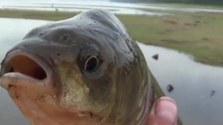 河水干枯后好多大鱼搁浅,直接下去捡鱼就可以了,真过瘾!
