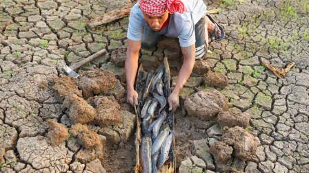 开裂的泥土下埋着一根木头,小伙子劈开木头后,里面全是鱼