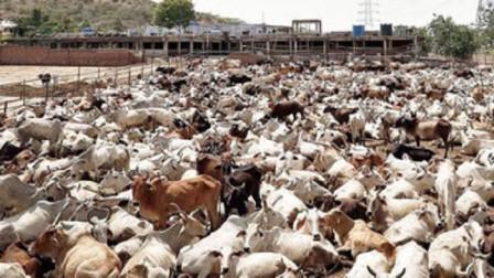 """世界最""""嚣张""""的家畜,泛滥达到3亿多头,却没人敢动它一根汗毛"""