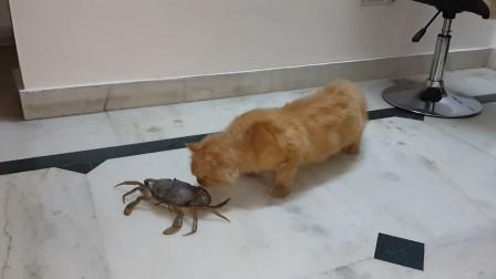 当猫咪遇上螃蟹后,本来保持安全距离,没想到最终还是逃不过
