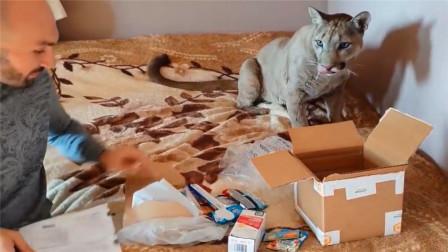 收到一箱零食,大猫却看上了纸箱:我很好养的