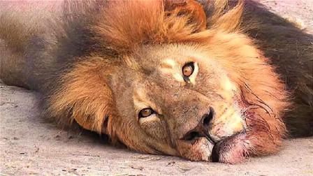 """凶猛狮子也有天敌?草原上的狮子都知道,看见""""他们""""必须跑!"""