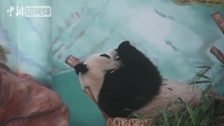 """大熊猫""""兄妹""""亮相广西南宁"""